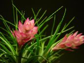photo Pot Flowers Tillandsia herbaceous plant pink