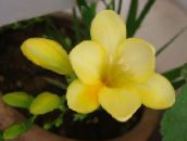 photo Pot Flowers Freesia herbaceous plant yellow