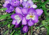 photo Pot Flowers Freesia herbaceous plant lilac