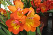 photo Pot Flowers Freesia herbaceous plant orange