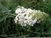 white Butterfly Bush, Summer Lilac