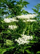 photo Garden Flowers Common elder, Red-berried elder, Sambucus white