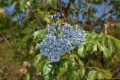 photo Garden Flowers Common elder, Red-berried elder, Sambucus light blue