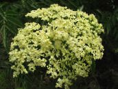 photo Garden Flowers Common elder, Red-berried elder, Sambucus yellow
