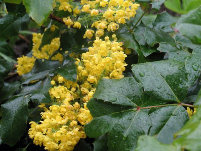 järnek gula blommor
