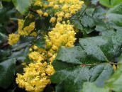 yellow Oregon Grape, Oregon Grape Holly, Holly-leaved Barberry
