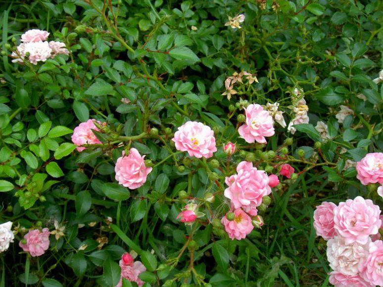 Полиантовые розы уход и выращивание 41