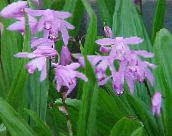 lilac Ground Orchid, The Striped Bletilla