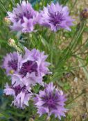 lilac Knapweed, Star Thistle, Cornflower