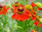 red Sneezeweed, Helen's Flower, Dogtooth Daisy