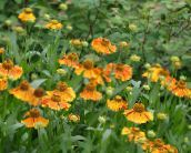 orange Sneezeweed, Helen's Flower, Dogtooth Daisy