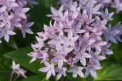 lilac Egyptian star flower, Egyptian Star Cluster