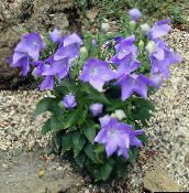 lilac Balloon Flower, Chinese Bellflower