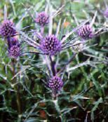 lilac Amethyst Sea Holly, Alpine Eryngo, Alpine Sea Holly