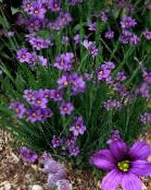 lilac Stout Blue-eyed Grass, Blue eye-grass