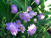 lilac Scabiosa, Pincushion Flower