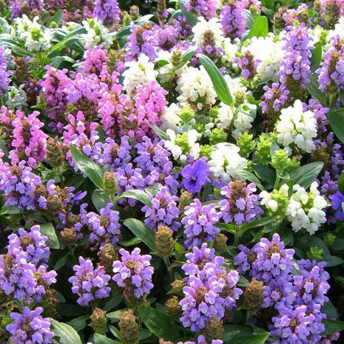 Фото цветка прунелла