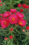 red New England aster