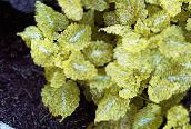 yellow Dead nettle, Spotted Dead Nettle Leafy Ornamentals