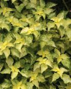 yellow False Nettle, Japanese Boehmeria Leafy Ornamentals