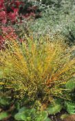 red Pheasant's Tail Grass, Feather Grass, New Zealand wind grass Cereals