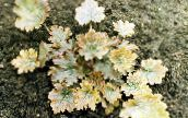 yellow Heuchera, Coral flower, Coral Bells, Alumroot Leafy Ornamentals