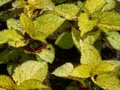 yellow Coleus, Flame Nettle, Painted Nettle Leafy Ornamentals