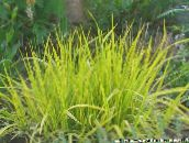 yellow Foxtail grass Cereals