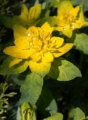 yellow Cushion spurge Leafy Ornamentals