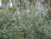 silvery Pendulous willow-leaved pear, Weeping silver pear