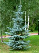 light blue Colorado Blue Spruce