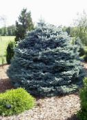 silvery Colorado Blue Spruce