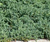 light blue Juniper, Sabina