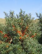 silvery Sea Buckthorn, Sea Berry