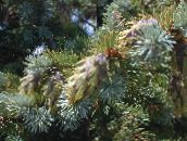 silvery Douglas Fir, Oregon Pine, Red Fir, Yellow Fir, False Spruce