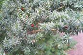 silvery English yew, Canadian Yew, Ground Hemlock