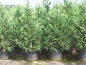 light blue Leyland cypress